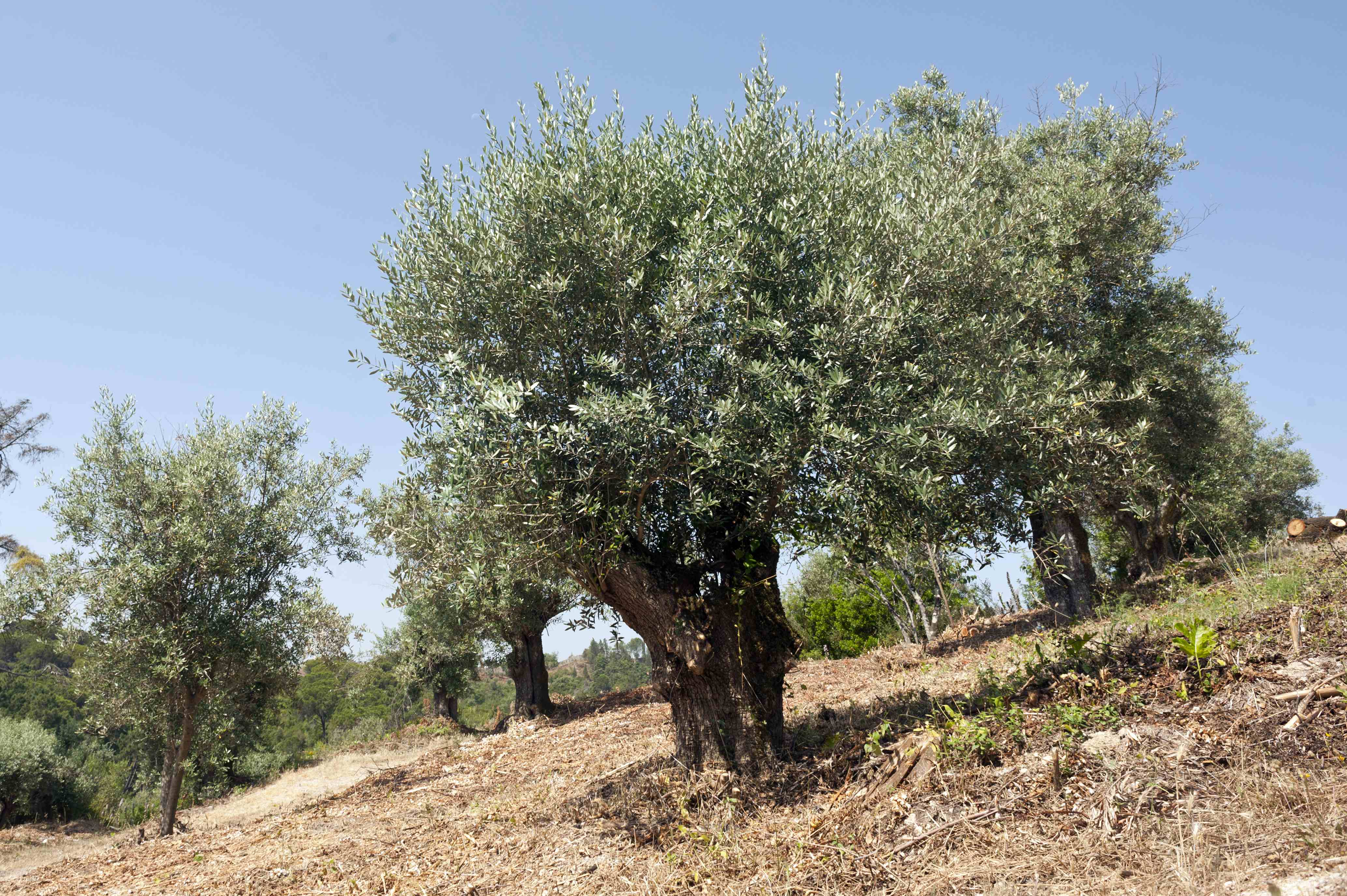 In the Forest of Seven Hills subsist old olive residue, culture marked indelibly the region's landscape to time the friars of Christ.