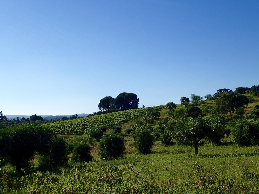 Olive grove of hillside vineyard